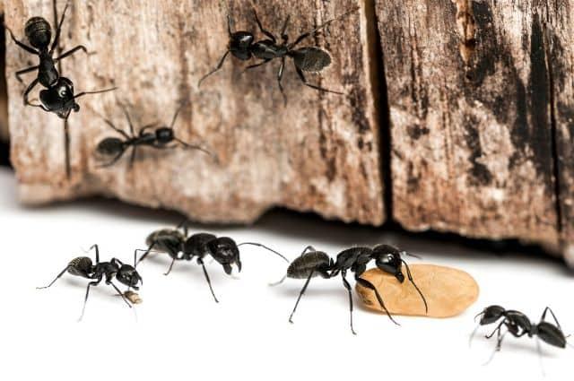 carpenter ant colonies