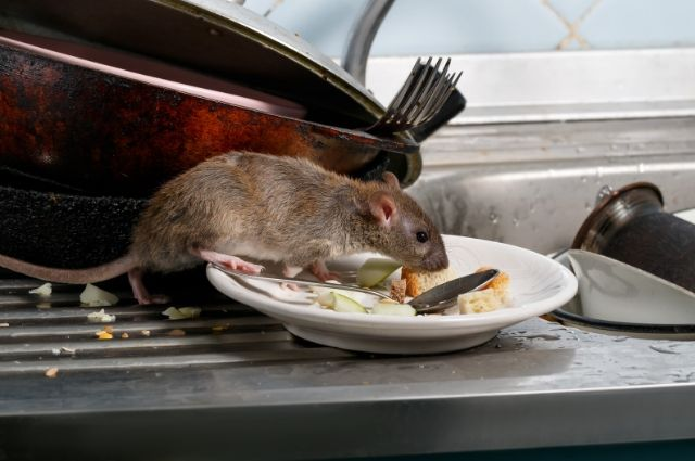 Rats love dirty and unsanitary environments