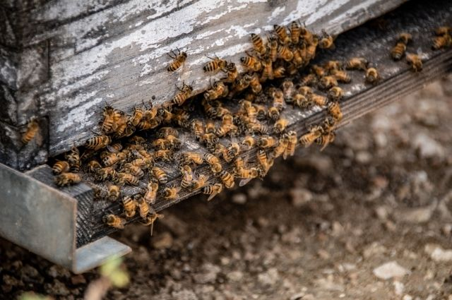carpenter bees nesting inside a wood