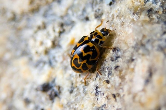 lady bugs are beneficial insects