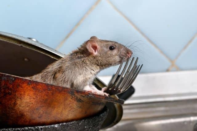 dirty kitchen invites rats